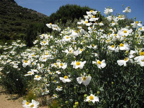 file romneya coulteri 3 corse jpg wikimedia commons