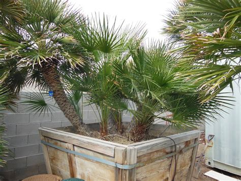 blue mediterranean fan palm for sale 047 6ft mediterranean palm 171 affordable tree service las
