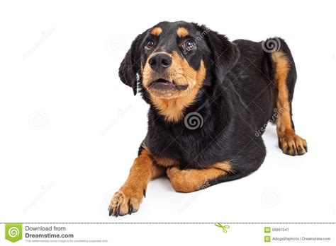 looking rottweiler upset rottweiler crossbreed puppy looking up stock photo image 56997041
