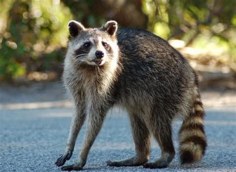 what to do if a raccoon is in your backyard raccoon control and prevention tips from albany pest control experts