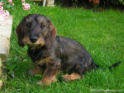 large breed wirehaired dogs breeds picture