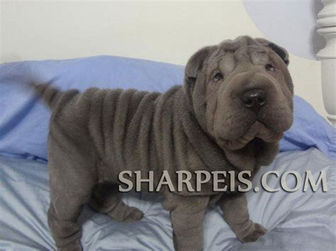 shar pei puppies for sale nc shar pei puppies for sale