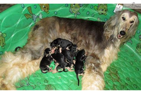 akc afghan hound puppies for sale adonis afghan hound puppy for sale near 88555edd 2391
