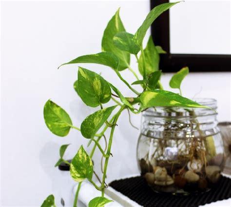 Tanaman Hias Merambat Sirih Merah tanaman hias pembersih udara dalam ruangan bibitbunga