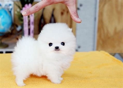 buying a pomeranian teacup pomeranian read this before buying a teacup puppy