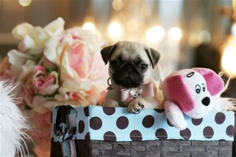 teacup pugs sale 16 best boutique teacup puppies images on boutique boutiques and tiny puppies