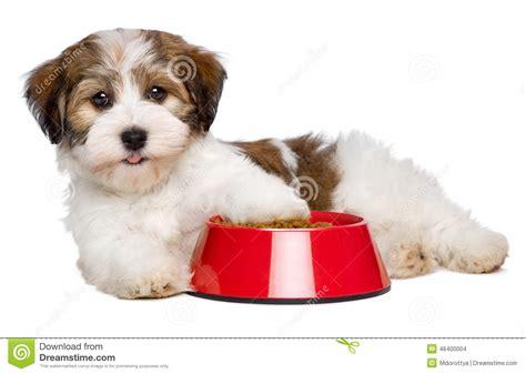 happy havanese happy havanese puppy is lying beside a bowl of food stock photo image
