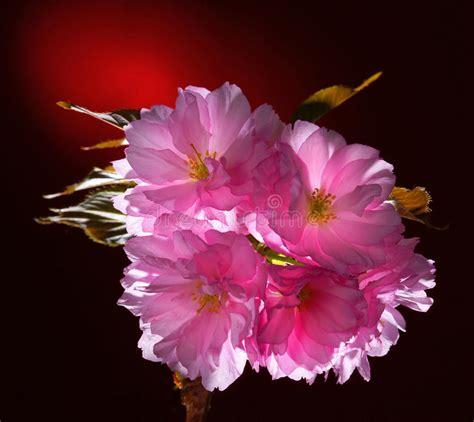 fiore giapponese fiore giapponese fiorito rosa della ciliegia