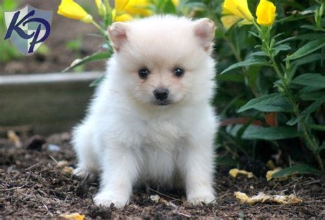 teacup pomeranian puppies for sale in pa 30 best the bomb poms pomeranians for sale images on