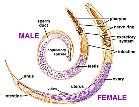 diagram of nematode print introduction to major animal phyla flashcards easy