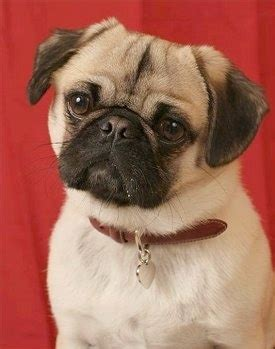 pug mixes list puginese breed information and picturess