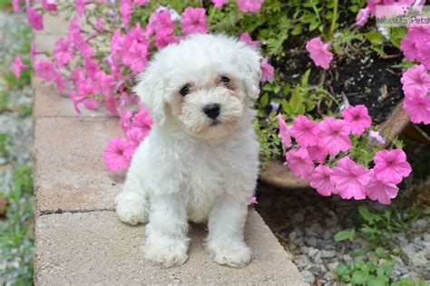 bichon frise puppies for sale ohio rubble bichon frise puppy for sale near cleveland ohio ec96d57b 35e1