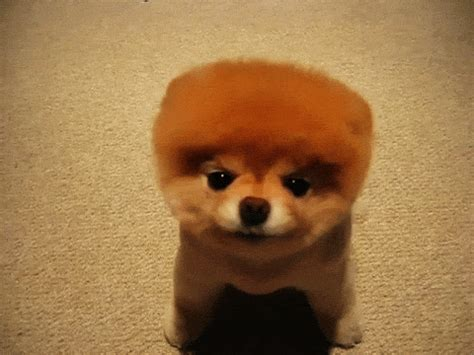 pomeranian gif pomeranian puppy gif wifflegif
