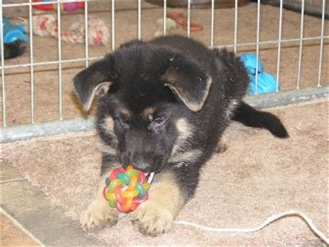 german shepherd puppies in nc german shepherd pups for sale carolina dogs our friends photo