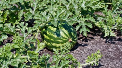 melonen im garten melonen im eigenen garten pflanzen und ernten