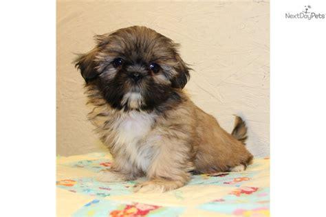 shih tzu puppies for sale in louis mo shih tzu puppy for sale near springfield missouri
