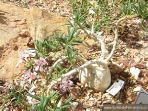 Large Foliage Plants - pachypodium succulentum kumbula indigenous nursery