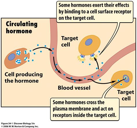 a protein that acts as a hormone is learn hormones
