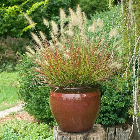 Grasses In Planters by Grass Burgundy Bunny Size 1 Gallon