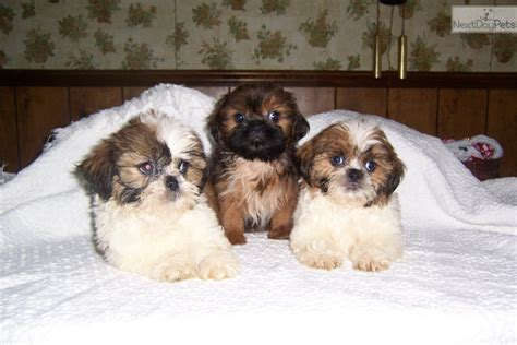 shih tzu puppies in kentucky shih tzu puppy for sale near bowling green kentucky cf636627 bb81
