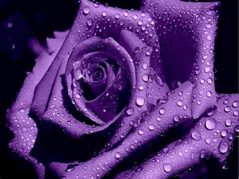 imagenes de rosas negras y moradas 201 li de bem com a vida borboleteando pelas p 225 ginas