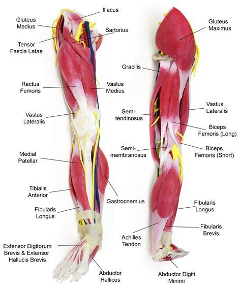 leg anatomy anatomy leg syndaver labs