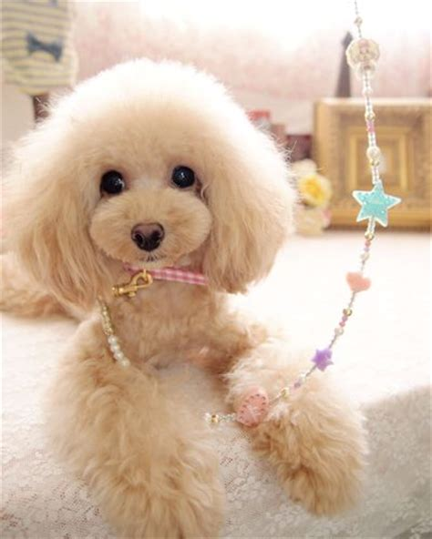 toy poodle haircuts pictures 482 best images about dog grooming looks styles on pinterest