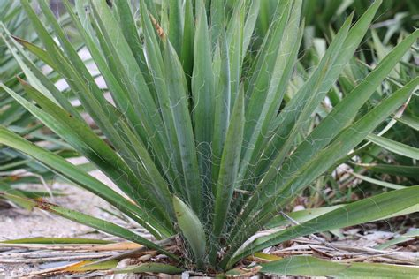 gartenyucca pflege f 228 dige palmlilie garten yucca yucca filamentosa pflege