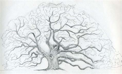 oak tree drawing draw an oak tree angel oak tree