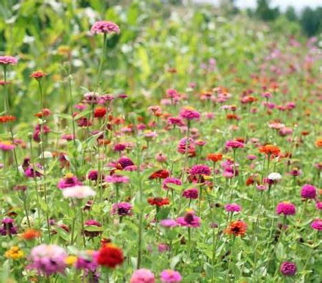Pupuk Untuk Bunga Marigold cara menanam bunga zinnia dari biji dengan mudah