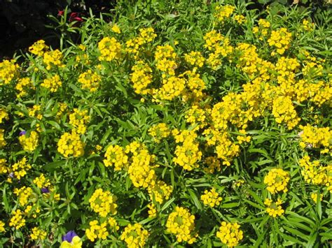 Yellow Flower Garden Plant With Yellow Flowers 28 Images Garden Plants With Yellow Flowers Pdf File Hybrids