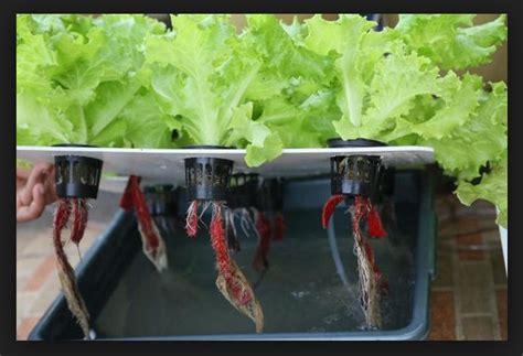 cara membuat alat hidroponik cara menanam selada secara hidroponik dengan alat