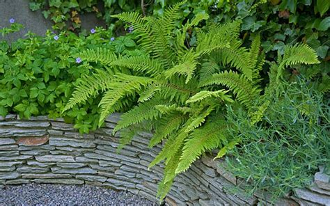 ferns are perfect for keeping the garden green through