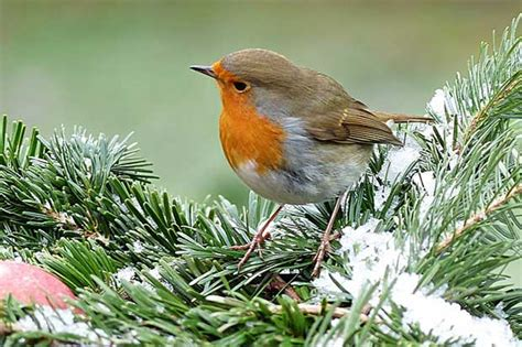 facts about robins british bird lovers