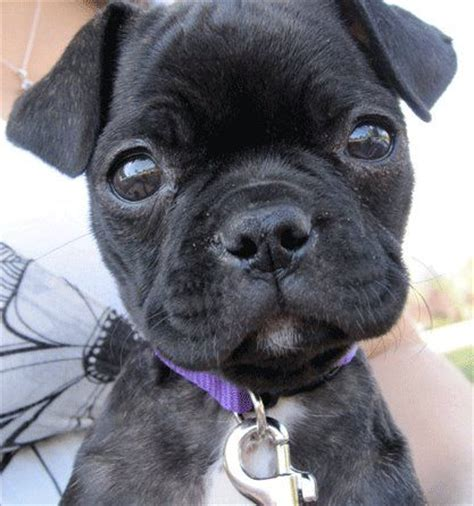 boston terrier cross pug a bugg boston terrier pug cross buggs