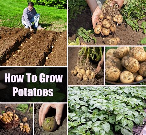 how to grow potatoes diycozyworld home improvement