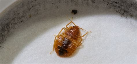 how bed bugs spread how do bed bugs spread debugged