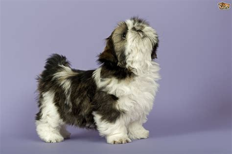 how to crate a shih tzu puppy five useful things to about the shih tzu puppy pets4homes