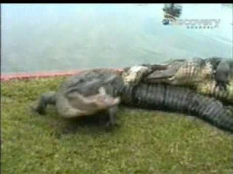 cocodrilo de la cuna cocodrilo le arranca la pata a otro youtube