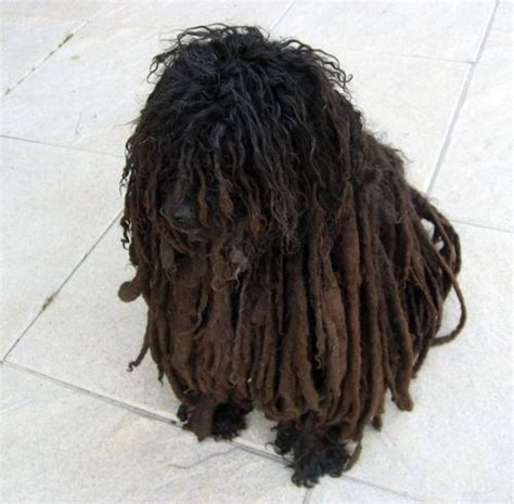 how to do a bob marley poodle cut on a dog a dog with dreadlocks lol when dog owners go a