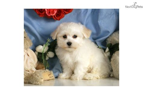 havamalt puppies for sale havamalt puppy for sale near williamsport pennsylvania 56772cb4 2de1