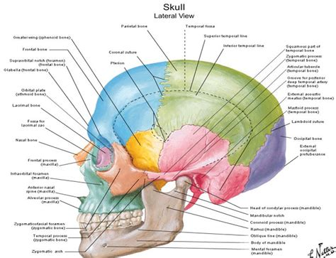 diagram of the skull dentistry lectures for mfds mjdf nbde ore diagrams of