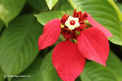 pictures of flowers mussaenda erythrophylla picture 19