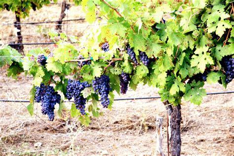 grow grapes arabment com