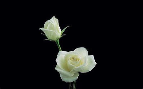 imagenes de rosas blancas para facebook white roses photography abstract background wallpapers