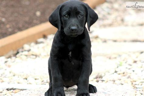 black lab puppy names black lab dogs names driverlayer search engine