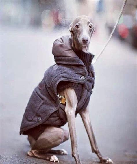 greyhounds whippets  italian greyhounds