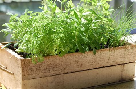 garden therapy planting herbsand  mint limeade recipe