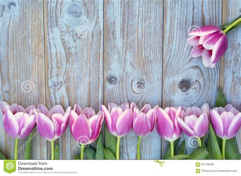 Kr Bordir Tulip Blue 1 grey blue wooden background with pink white tulips border in a row and empty copy space with