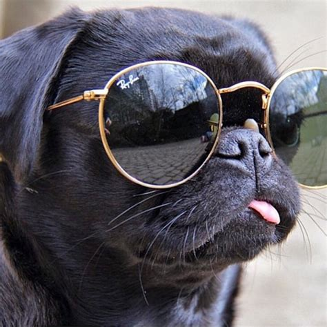 pug with goggles k davies opticians are you uv protected